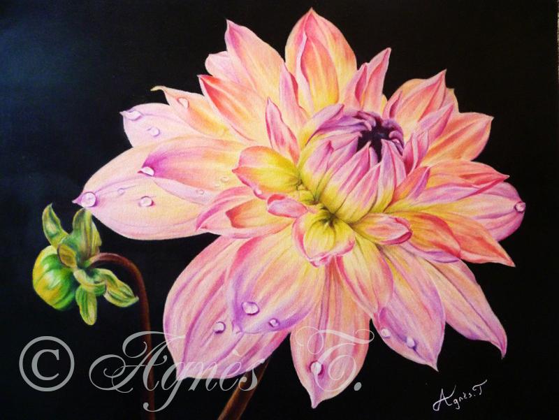 AgnesT-crayons-couleur-dahlia
