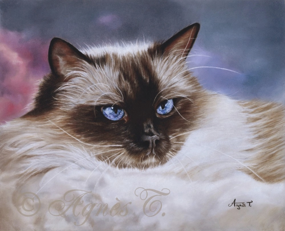 Esme, Ragdoll seal point