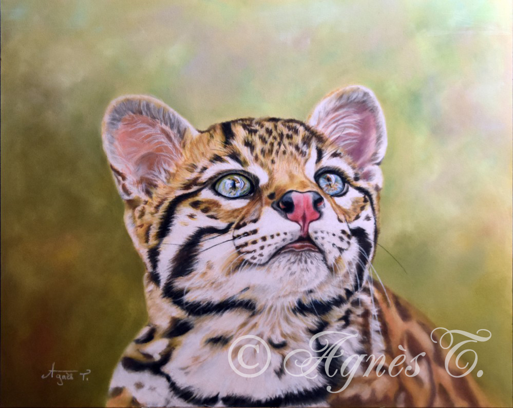 Oncilla ou chat tigre