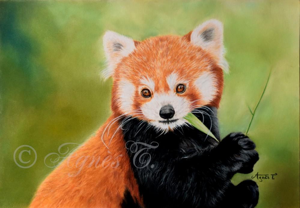 Dessin De Panda Roux