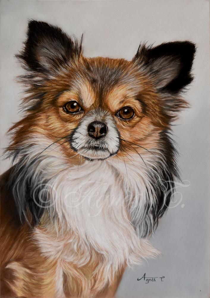 Chihuahua à poils longs