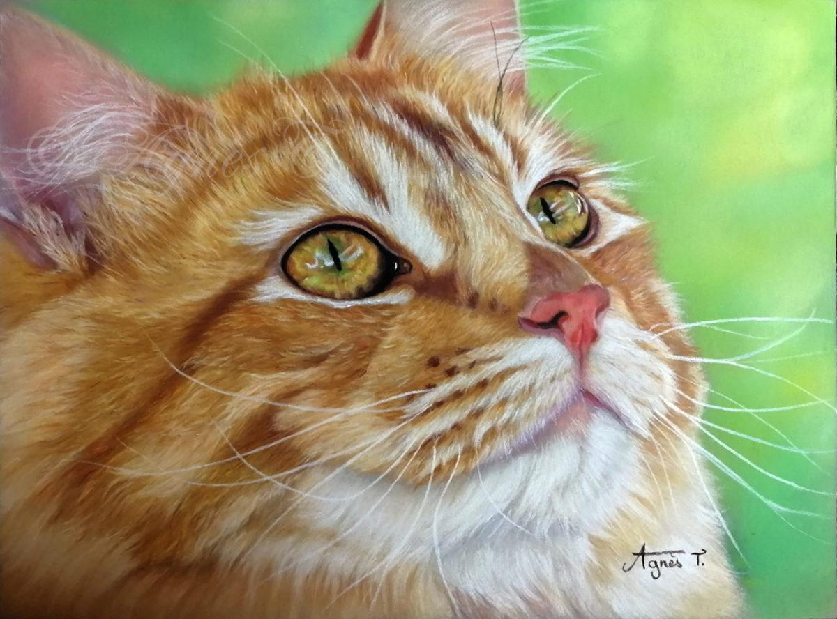 Siberian cat closeup